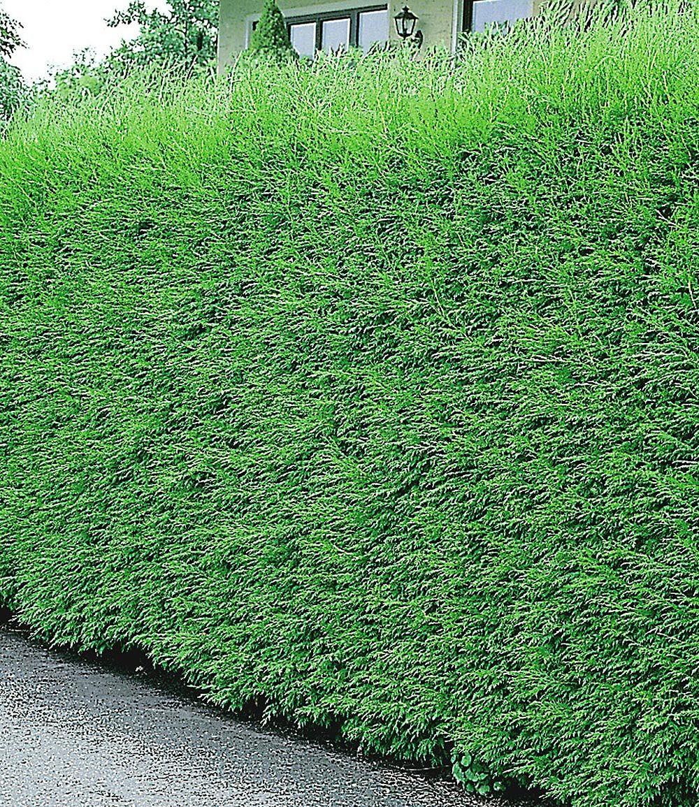 Leyland Zypressen Hecke 1 Pflanze günstig online kaufen Mein