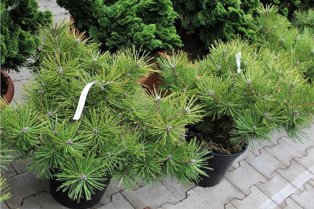 Lubera Pinus densiflora 'Jane Kluis',Pflanze im 3 l-Topf ...