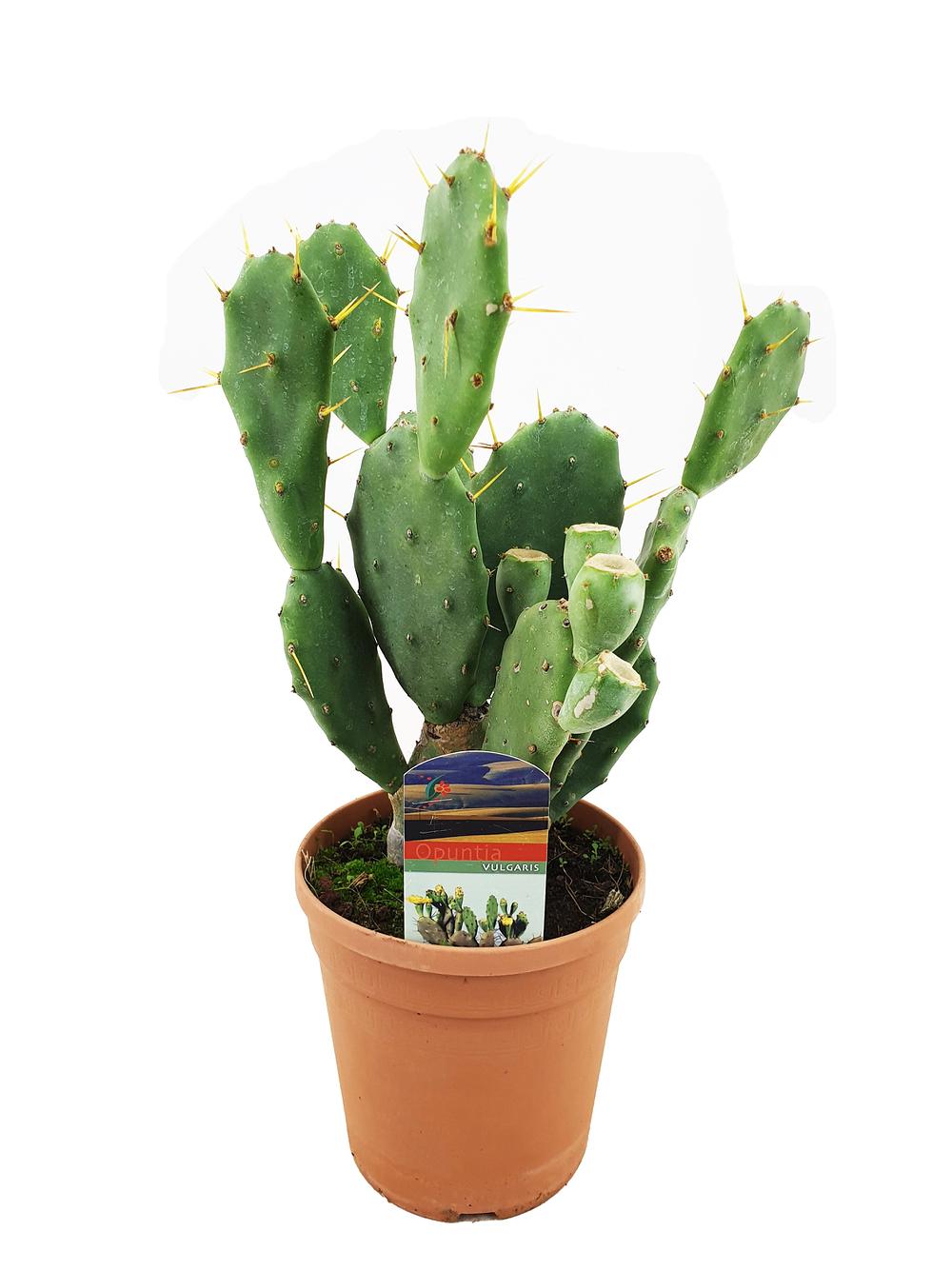 Mein schöner Garten Feigenkaktus günstig online kaufen ...