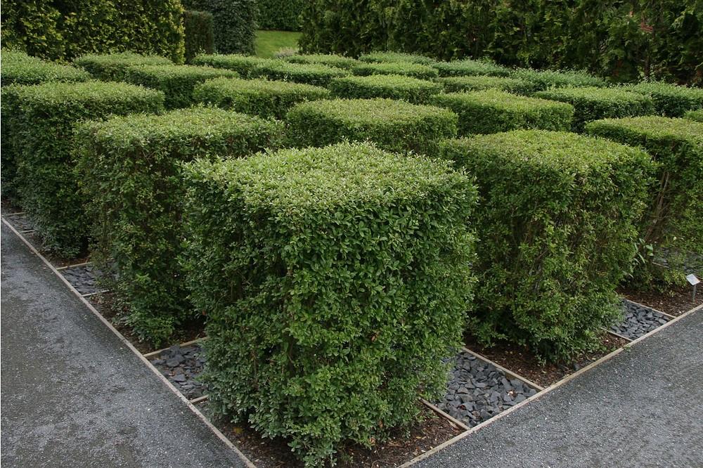 Mein Schöner Garten Schnellwachsende Hecke im Set, 40 Pflanzen ...