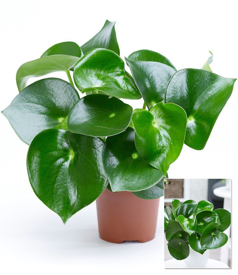peperomia raindrop zierpfeffer 1 pflanze g nstig online kaufen mein sch ner garten shop. Black Bedroom Furniture Sets. Home Design Ideas