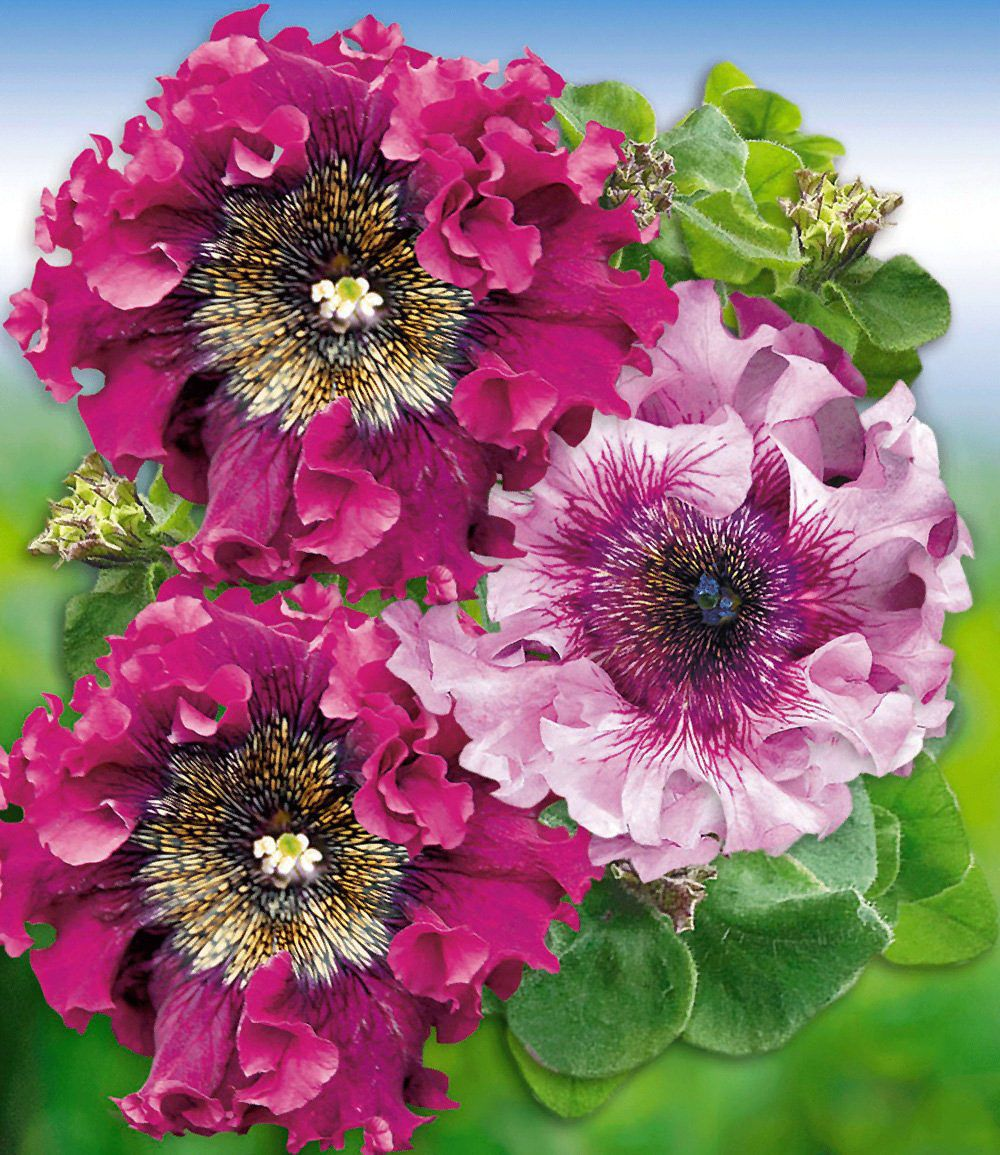 pfauenfeder petunie superbissima purple pink 4. Black Bedroom Furniture Sets. Home Design Ideas