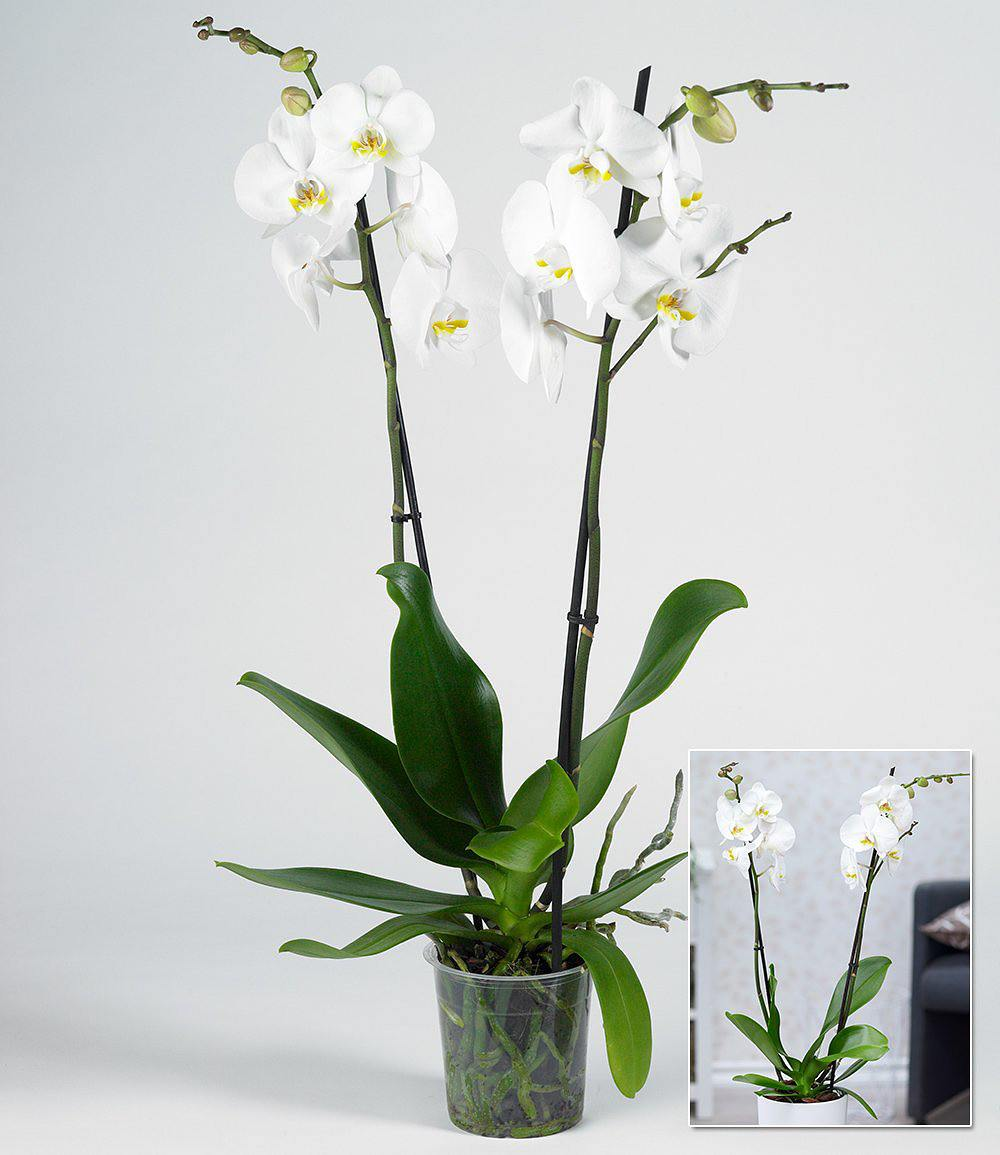 phalaenopsis orchidee 2 triebe wei 1 pflanze g nstig. Black Bedroom Furniture Sets. Home Design Ideas