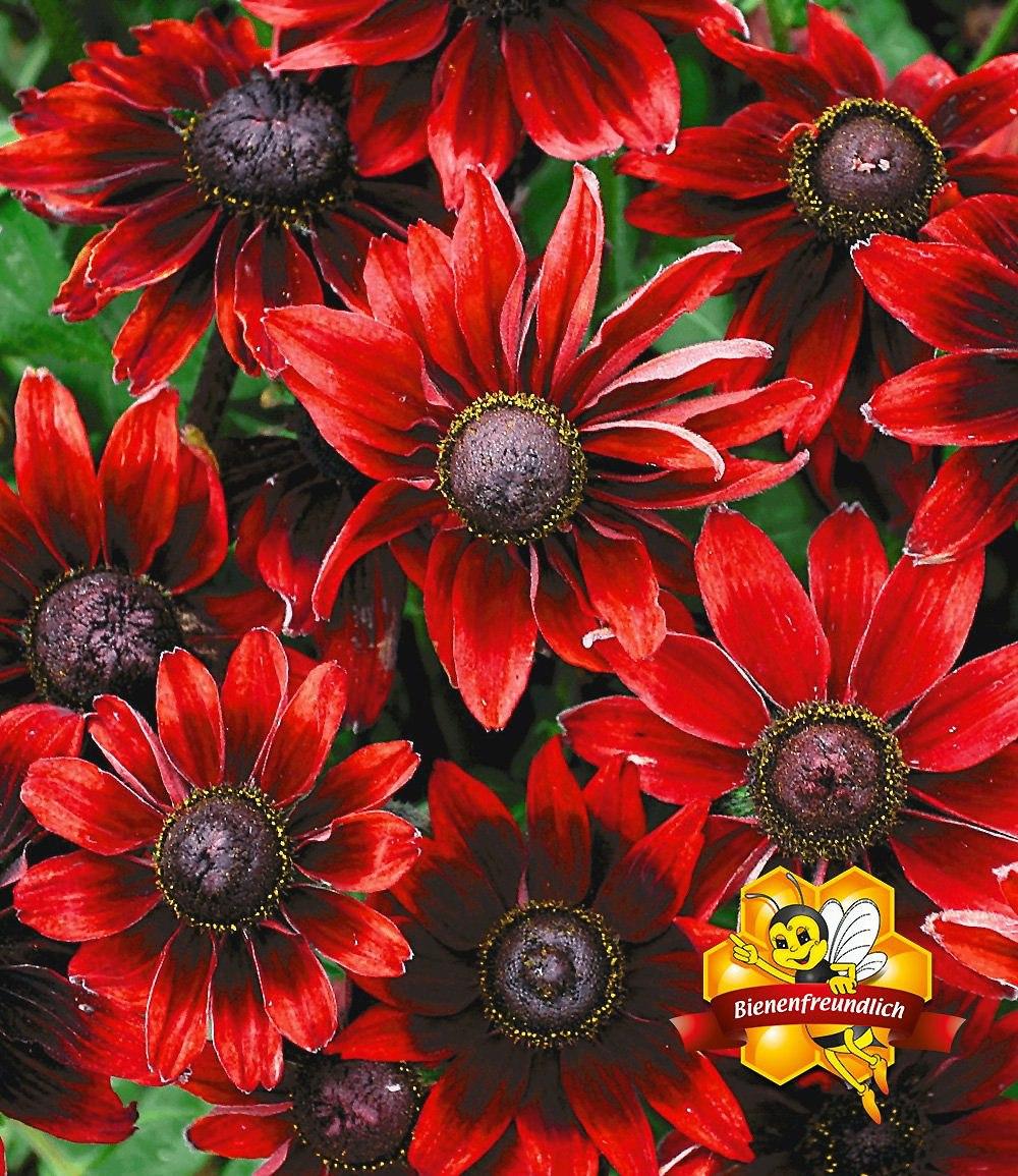 rudbeckia cherry brandy 3 pflanzen g nstig online kaufen mein sch ner garten shop. Black Bedroom Furniture Sets. Home Design Ideas