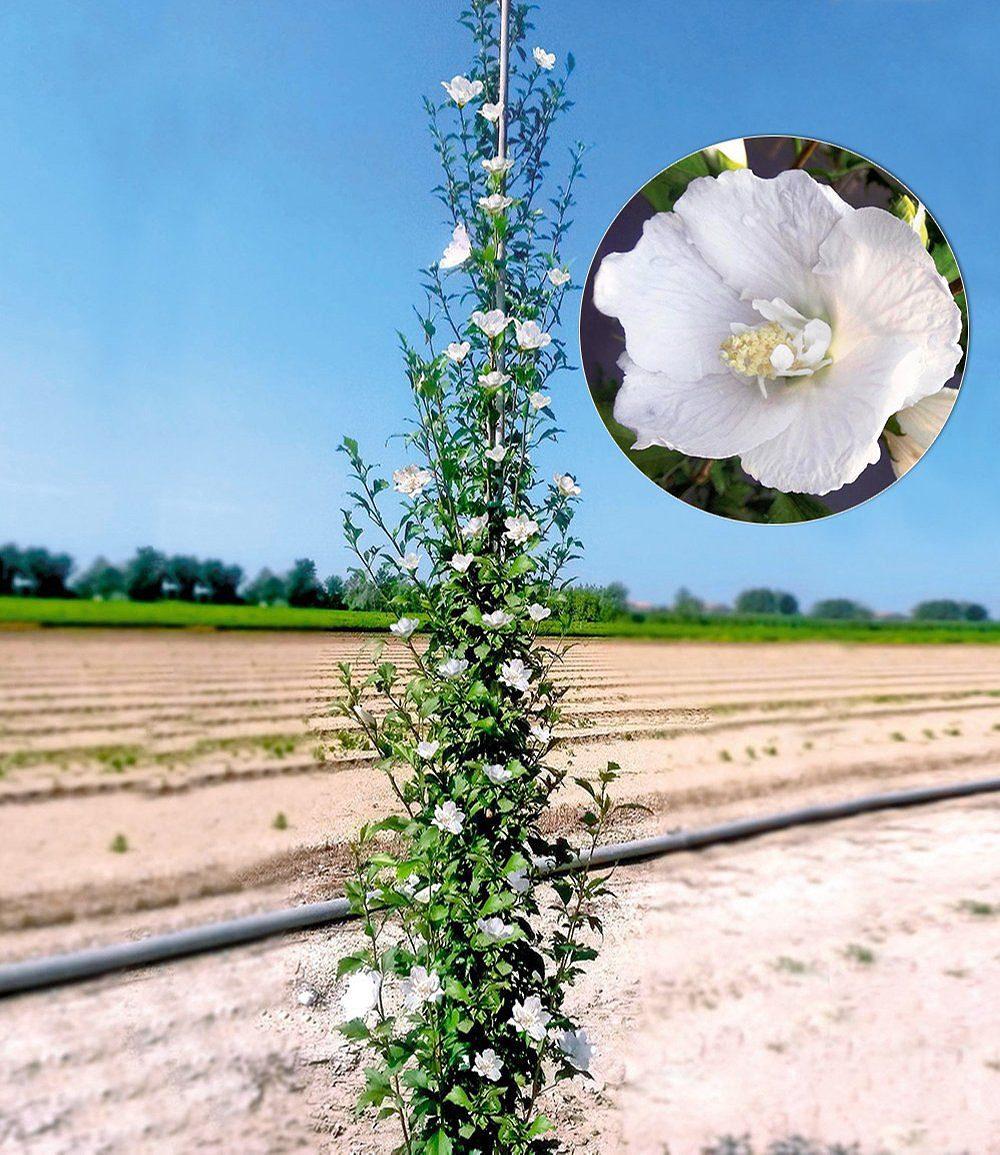 """Säulen Hibiskus """"Pillar Weiß"""" 1 Pflanze günstig online kaufen"""