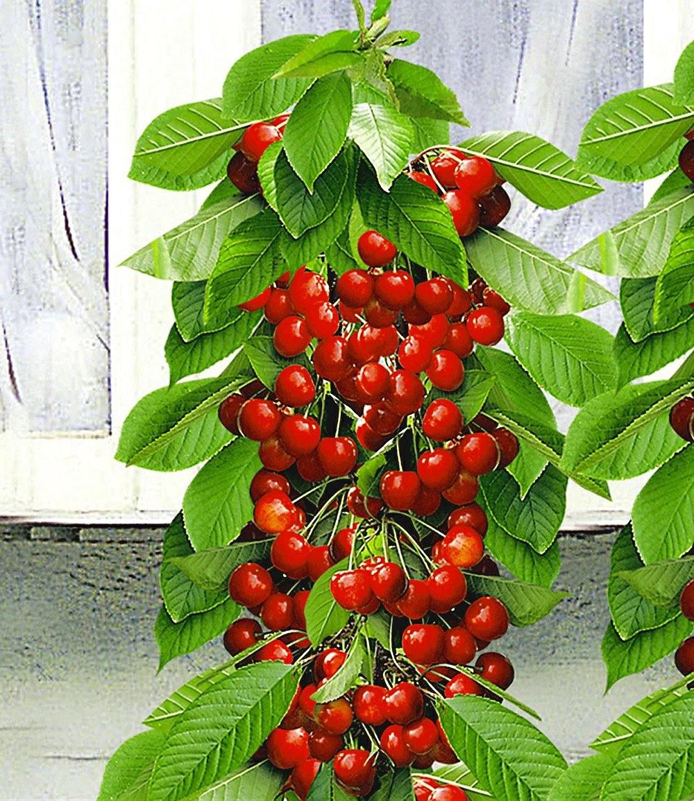 saeulen suesskirsche helena pflanze guenstig