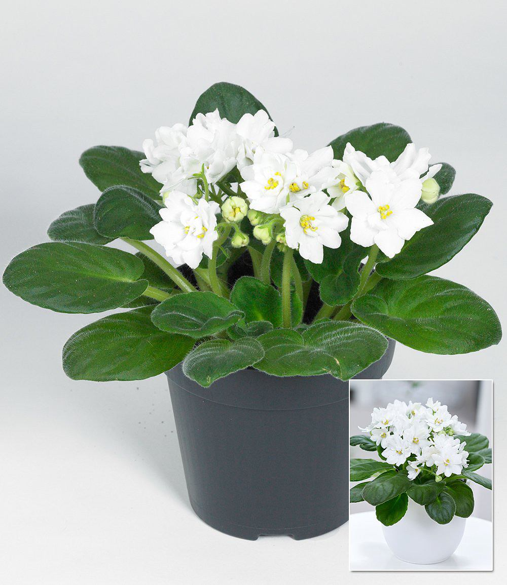 saintpaulia usambaraveilchen wei 1 pflanze g nstig online kaufen mein sch ner garten shop. Black Bedroom Furniture Sets. Home Design Ideas