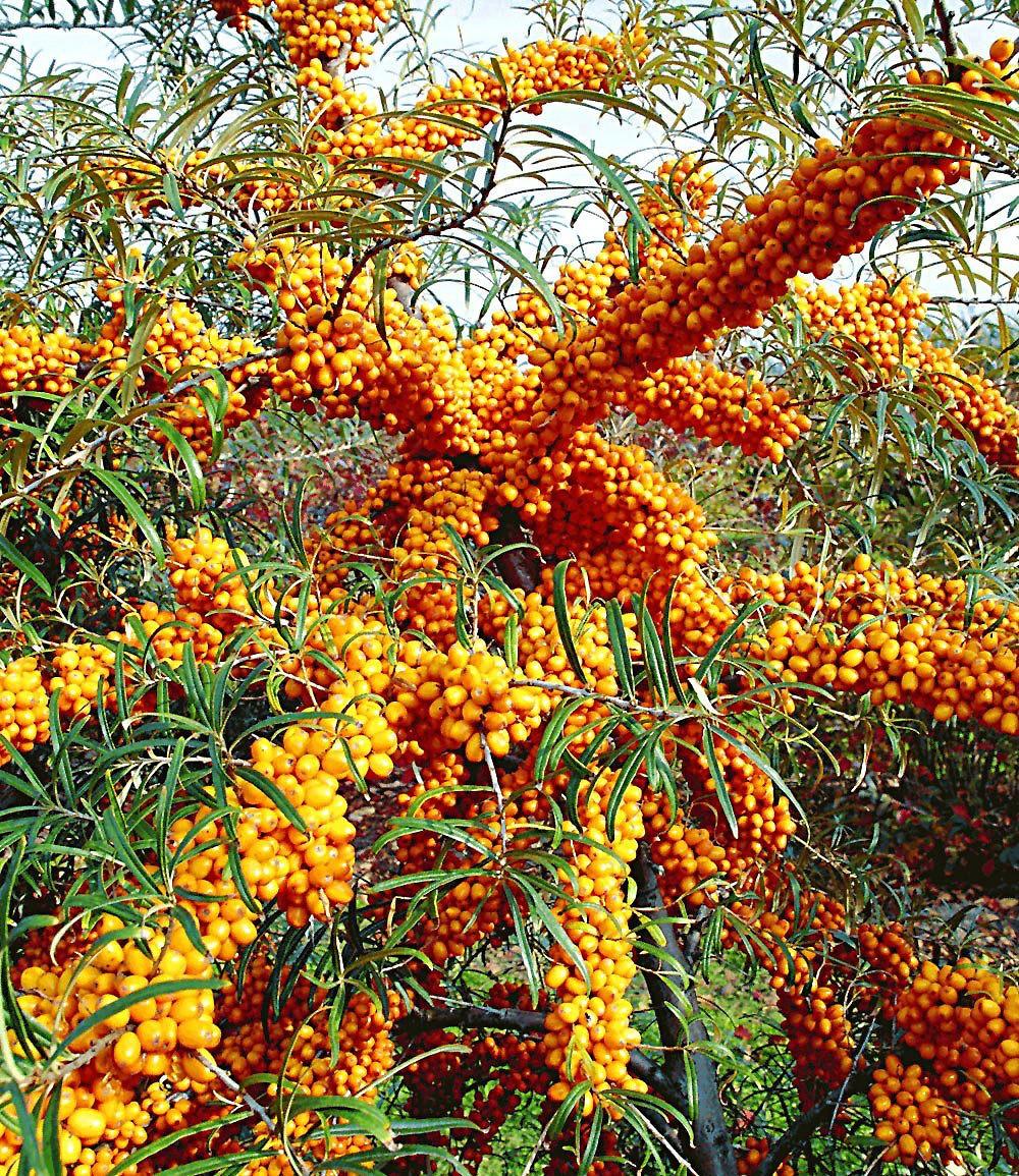 """Sanddorn """"Orange Energy®"""" Paar,2 Pflanzen günstig online ...  Sanddorn """"..."""