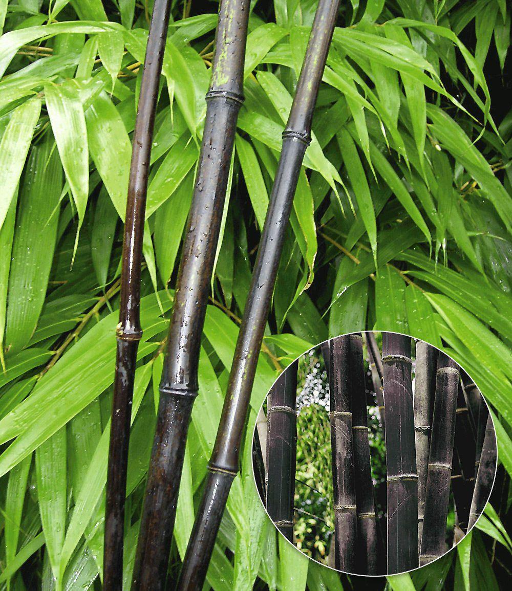 bambus schneiden - mein schöner garten, Garten Ideen