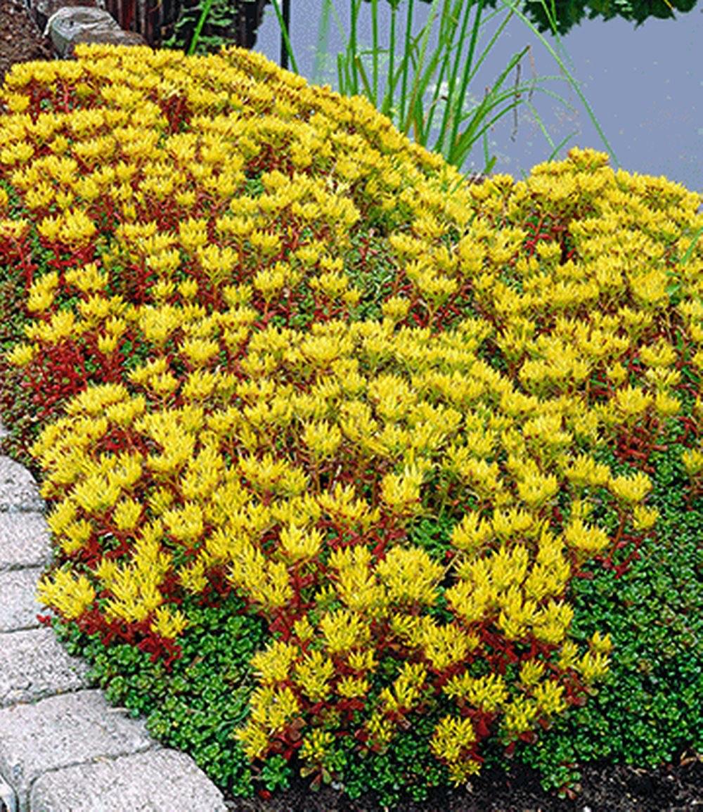 sedum golden oreganum 3 pflanzen g nstig online kaufen. Black Bedroom Furniture Sets. Home Design Ideas