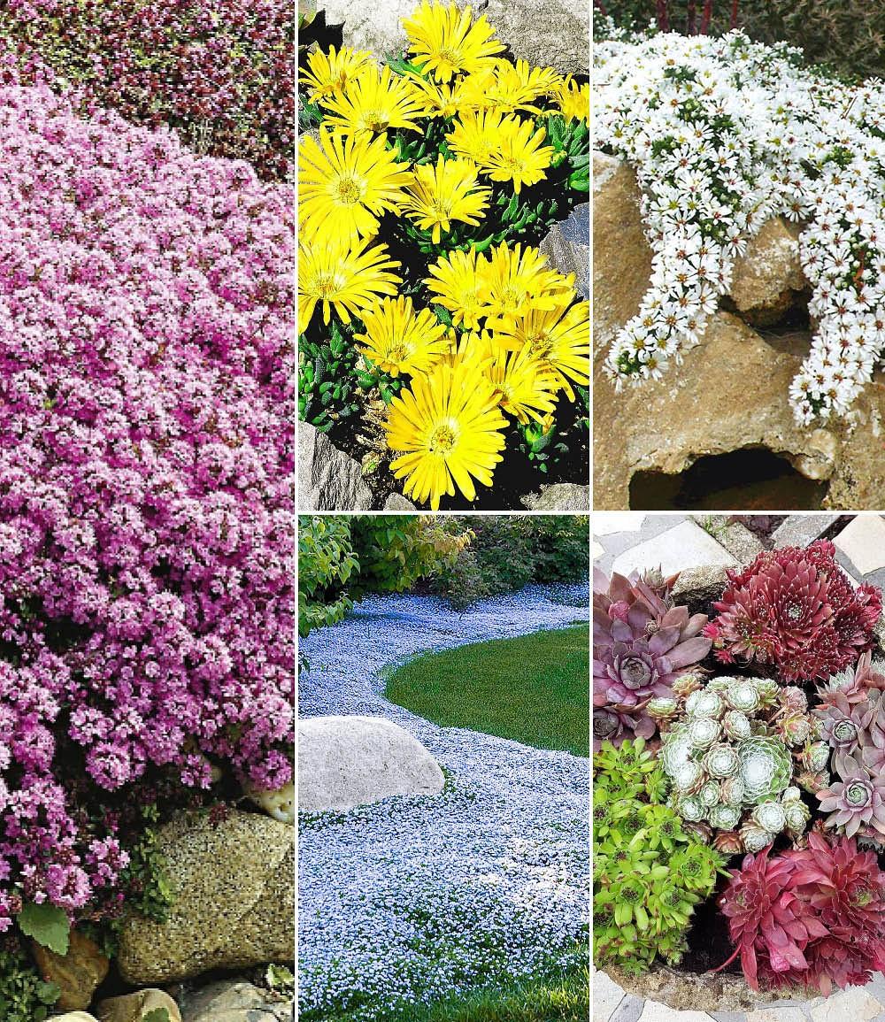 6 Steingartenstauden kräftige Pflanzen
