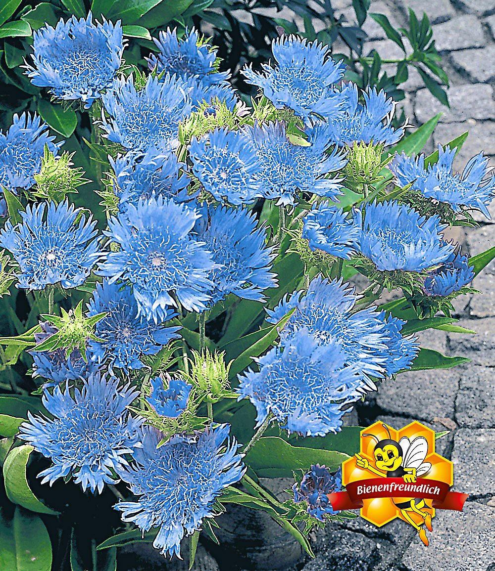 stokesia blue danube 2 pflanzen g nstig online kaufen mein sch ner garten shop. Black Bedroom Furniture Sets. Home Design Ideas