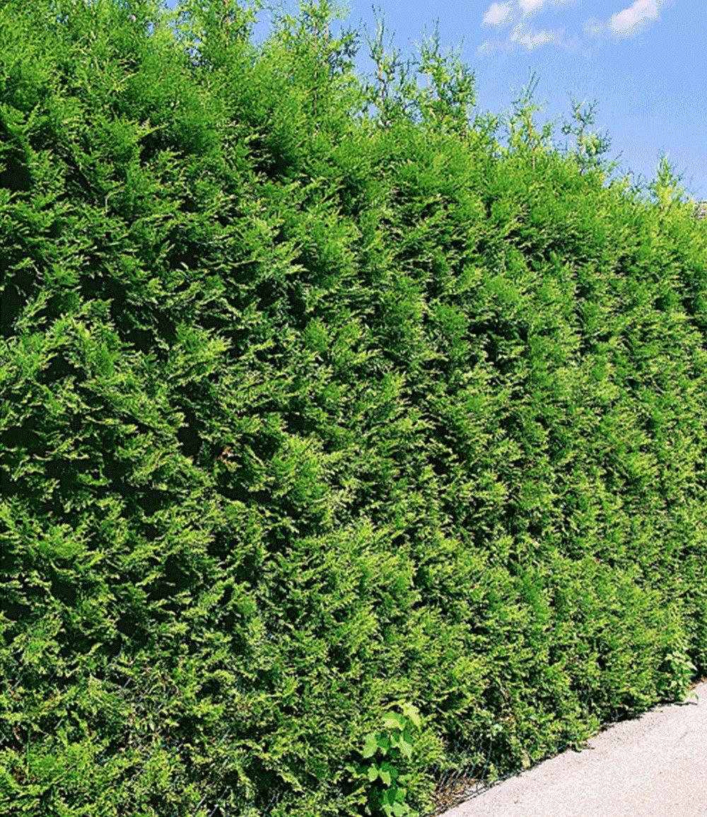 """Thuja Lebensbaum """"Brabant"""" 1 Pflanze günstig online kaufen Mein"""