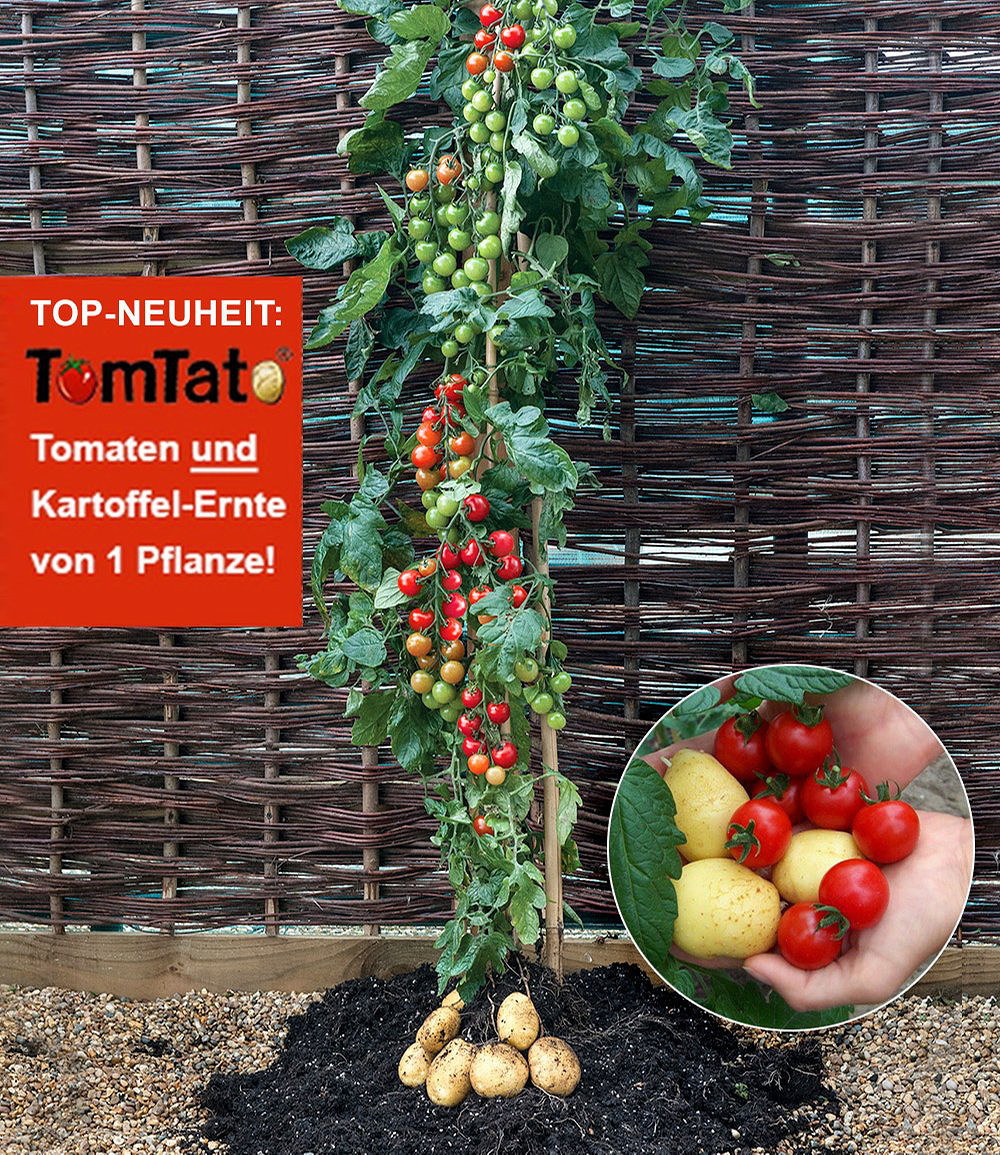 tomtato 1 pflanze tomaten undkartoffeln an einer pflanze. Black Bedroom Furniture Sets. Home Design Ideas