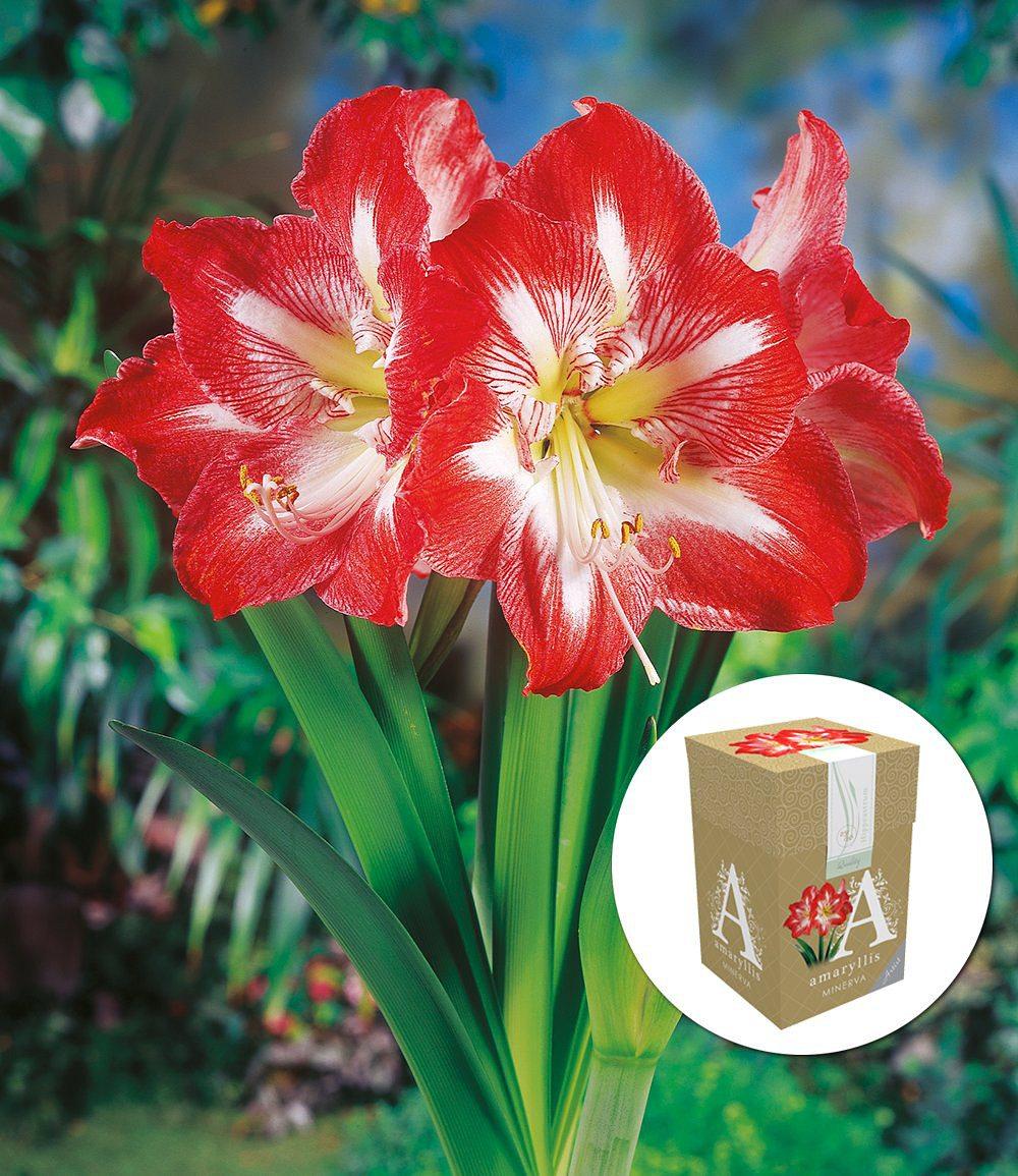 ungef llte amaryllis minerva mit geschenkbox 1 zwiebel g nstig online kaufen mein sch ner. Black Bedroom Furniture Sets. Home Design Ideas