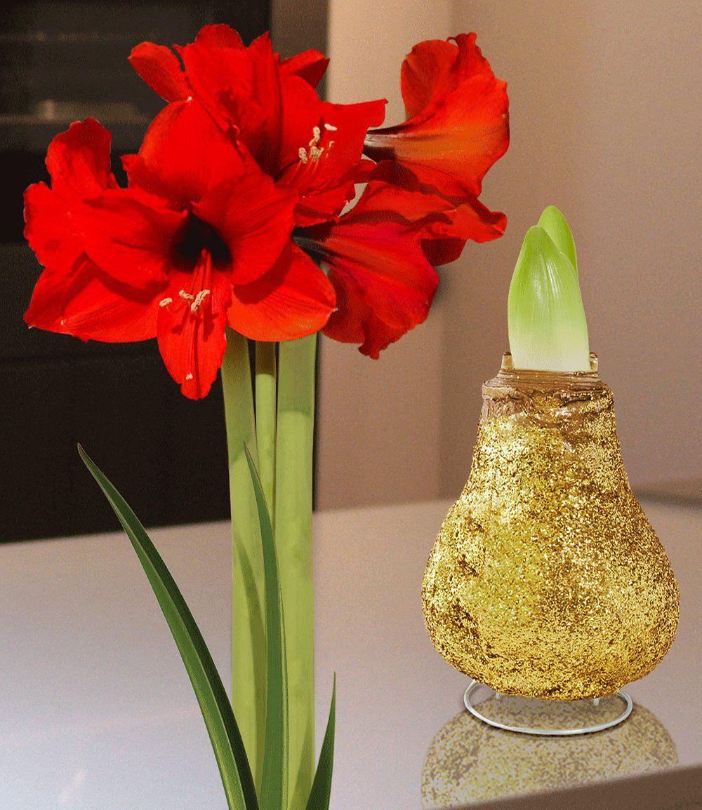 wachs amaryllis touch of magic gold 1 zwiebel g nstig. Black Bedroom Furniture Sets. Home Design Ideas