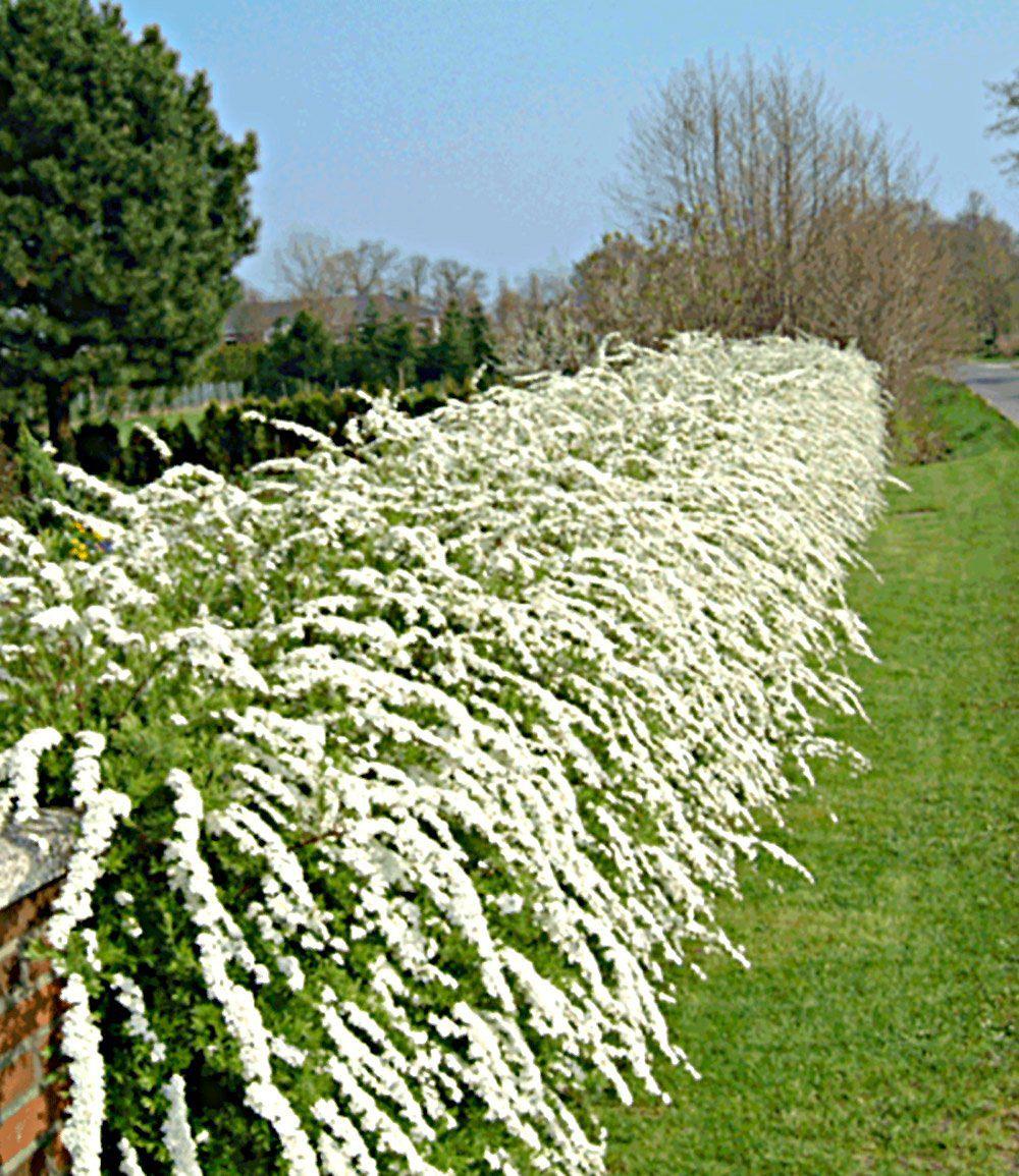 Weiße Rispen Spiere Grefsheim1 Pflanze Günstig Online Kaufen