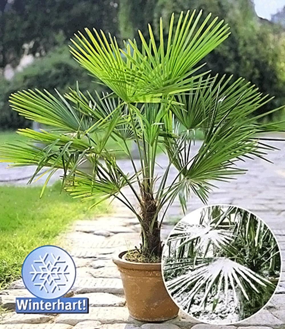 winterharte k bel palme 1 pflanze chinesische hanfpalme. Black Bedroom Furniture Sets. Home Design Ideas