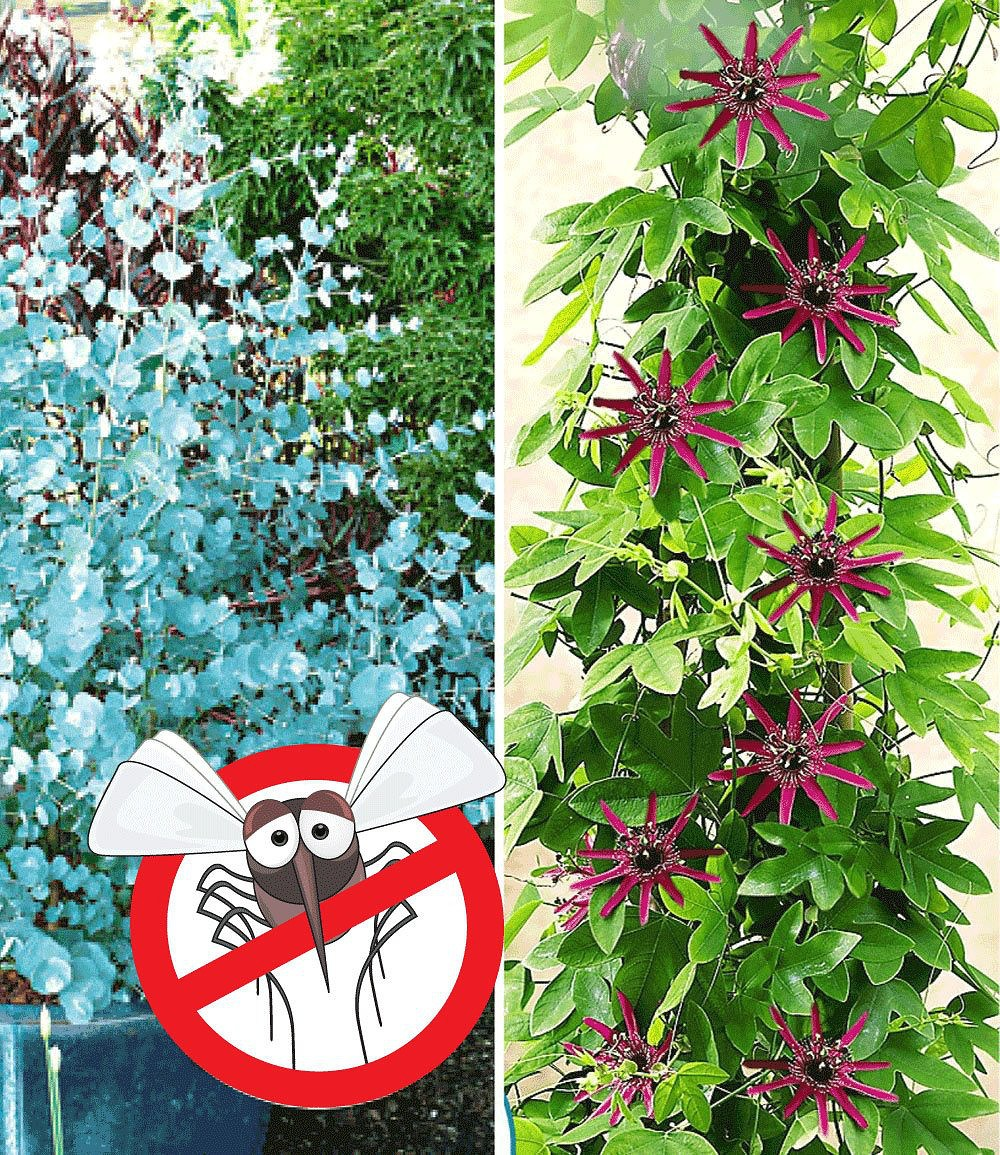 Winterharter Eukalyptus Amp Winterharte Passionsblume 2