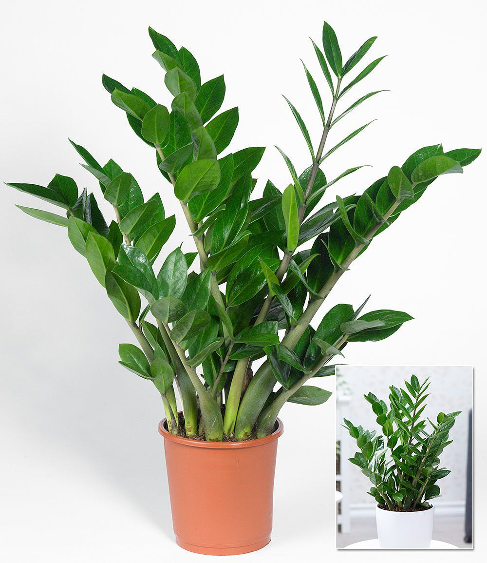 zamioculcas 1 pflanze g nstig online kaufen mein sch ner garten shop. Black Bedroom Furniture Sets. Home Design Ideas