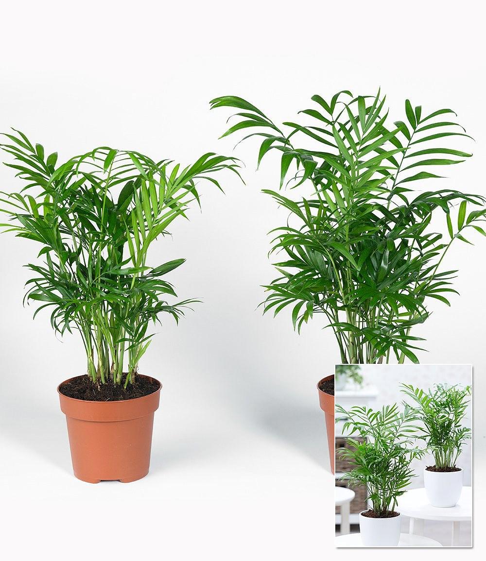 Zimmerpalmen duo 2 pflanzen g nstig online kaufen mein for Pflanzen shop