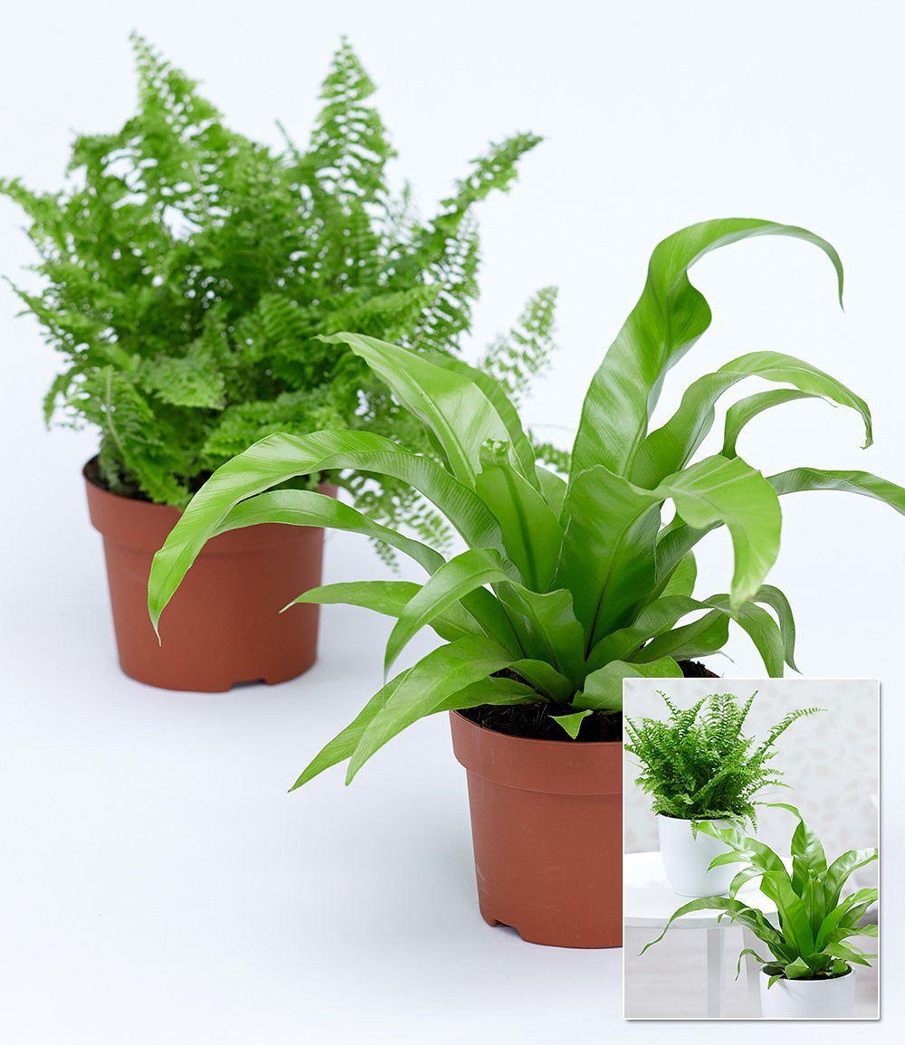 Zimmerpflanzen mix farn 2 pflanzen g nstig online kaufen for Shop zimmerpflanzen
