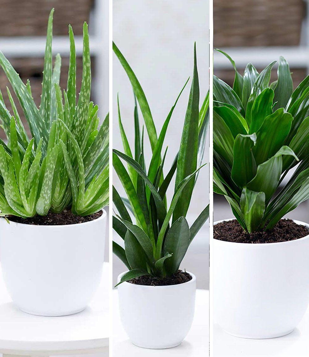 Zimmerpflanzen Mix Grune Lieblinge 3 Pflanzen