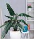 Alocasia Lauterbachiana,1 Pflanze (1)