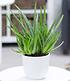 Aloe Vera ,1 Pflanze (1)