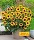 Balkon-Sonnenblume SunBelievable®,1 Pflanze (1)