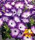 """Bienen-Petunie """"Purple Storm"""",3 Pflanzen (1)"""