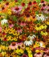 Bienenfreundlich Indian Summer Mix, 5 Knollen (1)