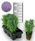 Blauer Duft-Lavendel 25 Stk.,25 Pflanzen (1)