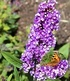 "Buddleia ""Berries and Cream®"",1 Pflanze (1)"