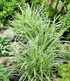 "Carex ""Ice Dance"",3 Pflanzen (1)"