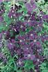 Clematis, Waldrebe 'Etoile Violette' (1)