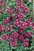 Clematis, Waldrebe 'Purpurea Plena Elegans' (1)
