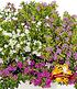 """Cuphea-Mix """"Nektarquelle"""", 3 Pflanzen (1)"""