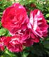 "Delbard Malerrose® ""Guy Savoy®"",1 Pflanze (1)"