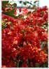 Drillingsblume Bougainvillea spectabilis