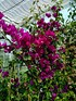 Drillingsblume Bougainvillea spectabilis Barbara Karst (1)