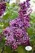 Edelflieder Sensation, 1 Pflanze (1)