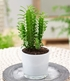 "Euphorbia ""Trigona"",1 Pflanze (1)"