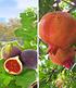 Exotische Früchte, 2 Pflanzen (1)