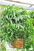Farn (Känguru Farn) - Microsorum diversifolium (1)