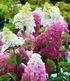"""Freiland-Hortensie """"Fraise Melba®"""",1 Pflanze (1)"""