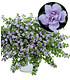 """Gefüllte blaue Bacopa """"ScopiaDouble®"""" 3 Pflanzen Schneeflockenblume (1)"""