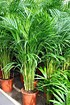 Goldfruchtpalme - Areca - Dypsis lutescens (1)