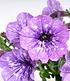 """Hänge-Petunie Hellviolette """"LavenderSKY®"""",3 Pflanzen (1)"""