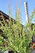 Harlekinweide (Hakuro Nishiki) Hochstamm - Salix integra Flamingo (1)